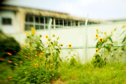プール脇の向日葵
